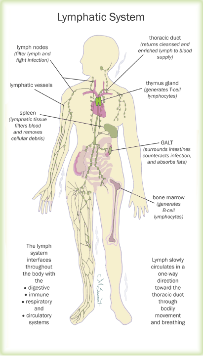Lymphatic System Diagram Cat - Electrical Drawing Wiring Diagram •